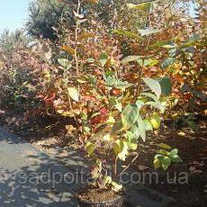 БлуКроп саженцы голубики 2хлетние, фото 2