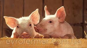 Каннибализм у свиней