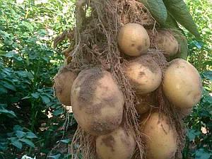 Семена картофеля Электра Голландия, 5 кг