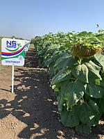 Урожайный подсолнечник Златибор 42 ц/га. Семена устойчивы к семи расам заразихи A-G+. Златибор Юг Агролидер, фото 1