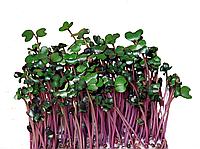 Набор для выращивания микро зелени в домашних условиях Капуста Красная