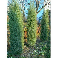 Можжевельник китайский Обелиск (Juniperus chinensis Obelisk)