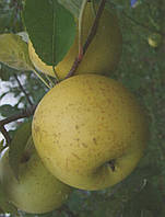 Саженец яблони Гринсливз (Англия)