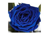 Долгосвежая роза - бутон Синий Сапфир