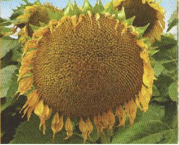 Насіння соняшника ФЛОРІМІ, фото 2