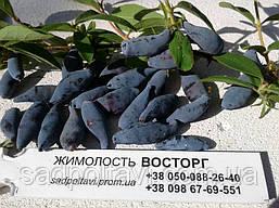 Саженцы жимолости Восторг в конт.3л /3года/, фото 2