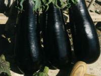 Насіння баклажан Фабина F1 5 г насіння