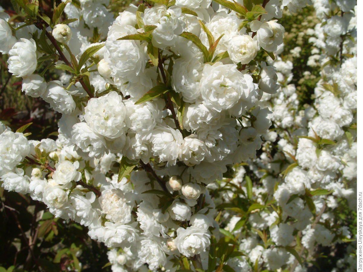 Саджанці мигдалю декоративного білого (привитий)