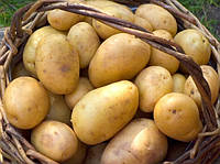 "Potatoes for export varieties ""Riviera"""