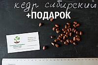 Кедр сибирский семена(10 штук) (сосна кедровая)для выращивания саженцев (насіння для саджанців)
