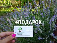 Лаванда настоящая семена (10 шт) леванда, лавенда, цветная трава насіння  + инструкция + подарок, фото 1