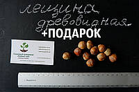 Лещина древовидная (турецкая) семена(10 штук),медвежий орех(подвой для саженцев фундука), горіх ліщіна