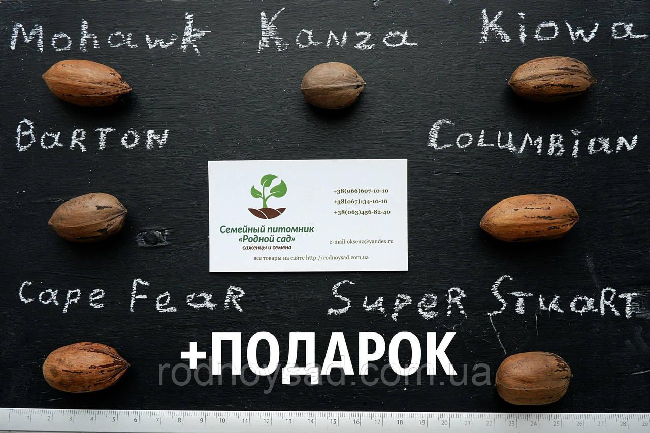 """Пекан (10 штук) сорт """"Kiowa""""  семена орех кария для саженцев (горіх насіння на саджанці) Carya illinoinensis"""