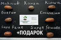 """Пекан (10 штук) сорт """"Barton""""  семена орех кария для саженцев (горіх насіння на саджанці) Carya illinoinensis, фото 1"""