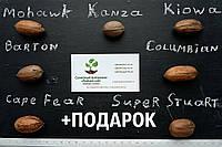 """Пекан (10 штук) сорт """"Columbian""""  семена орех кария для выращивания саженцев (горіх насіння на саджанці), фото 1"""