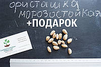 Семена фисташки (10 штук) орехи Pistácia véra для сеянцев и саженцев, горіх насіння фісташкі для саджанців
