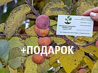 Хурма виргинская американская семена (10 штук) Diospyros virginiana насіння для саджанців/саженцев