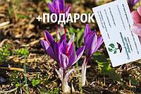 Шафран посевной луковицы 10 штук (шафрановый крокус семена) Crocus sativus + инструкция + подарок, фото 1