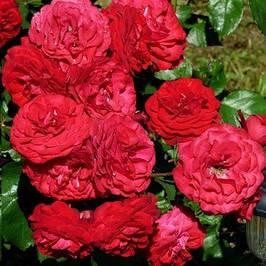 Саженцы розы флорибунда