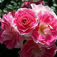 Троянда флорибунда Регенсберг