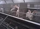 Технические рекомендации по работе с кроликом гибридом., фото 2
