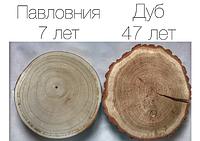 Павлония войлочная Павловния (Paulownia)  саженец 1 год, фото 1