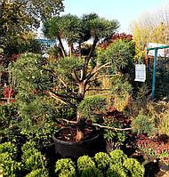 """Сосна обыкновенная """"Ниваки"""" (Pinus Sylvestris """"Niwaki"""") /H 200-220 см/ контейнер С200 L"""