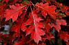 Дуб червоний, опт 100 штук (саджанець від 140 см до 170 см)