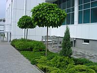Катальпа  (Catalpa bignonioides) (саженец окс 140-160 см), фото 1