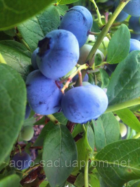Голубика: полезные свойства