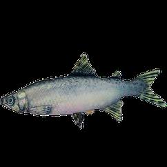 Антистресс игрушка Цацки-Пецки Рыба Семга 181114, КОД: 1190035
