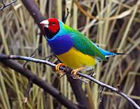 Декоративные птицы.