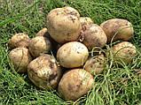Семенной картофель Саванна 5 кг, Голландия, 1 репродукция (оригинал), фото 3