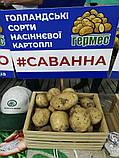 Семенной картофель Саванна 5 кг, Голландия, 1 репродукция (оригинал), фото 4