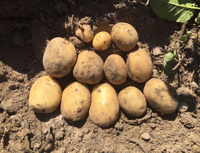 Семенной картофель Саванна 5 кг, Голландия, 1 репродукция (оригинал)