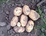 Семенной картофель Саванна 5 кг, Голландия, 1 репродукция (оригинал), фото 5