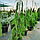 Кипарисовик нутканский 'Пендула' / Chamaecyparis nootkatensis 'Pendula' / Кипарисовик нутканський 'Пендула'', фото 5