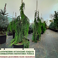 КИПАРИСОВИК НУТКАНСЬКИЙ ПЕНДУЛА/ Chamaecyparis nootkatensis Pendula  h 80 - 100 см, фото 1