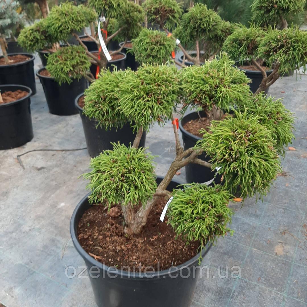 БОНСАЙ, Кипарисовик 'Санголд' / Chamaecyparis pisifera 'Sungold' h 60-70 см