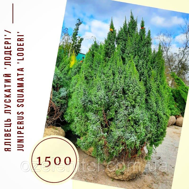 Можжевельник 'Лодері'/ Juniperus pingii 'Loderi' h 1,4-1,6 м
