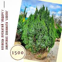 Можжевельник 'Лодері'/ Juniperus pingii 'Loderi' h 1,4-1,6 м, фото 1