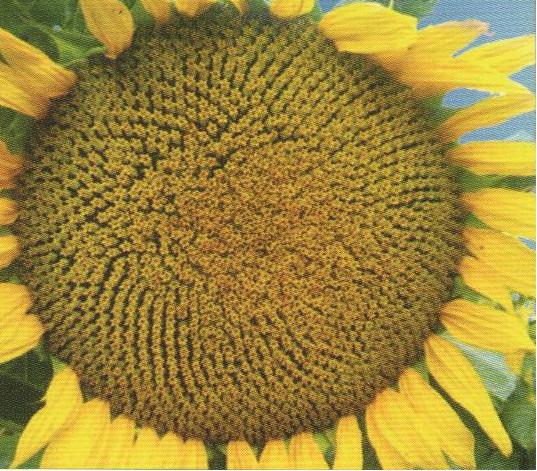 Насіння соняшника ЛІМІТ