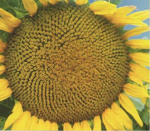 Насіння соняшника ЛІМІТ, фото 2