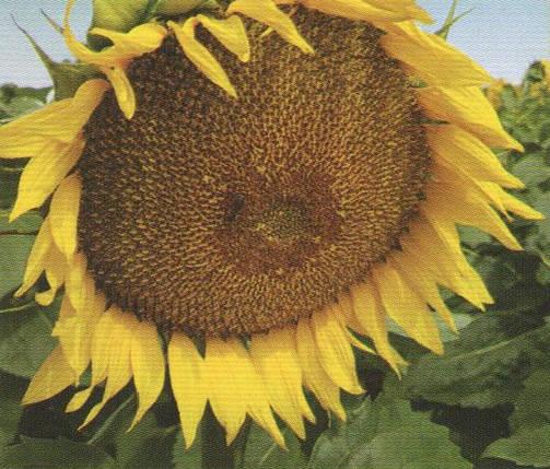 Насіння соняшника ФРАГМЕНТ, фото 2