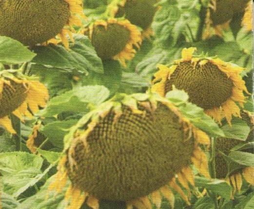 Насіння соняшника ФЛОКС, фото 2