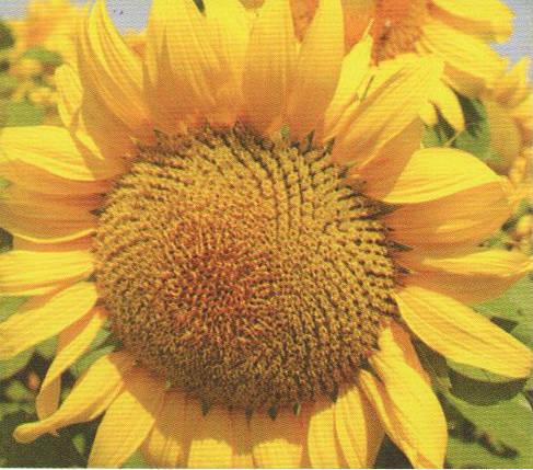 Насіння соняшника РЕКОЛЬД, фото 2