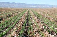 Мінеральне живлення озимої пшениці за технологією ноу-тілл