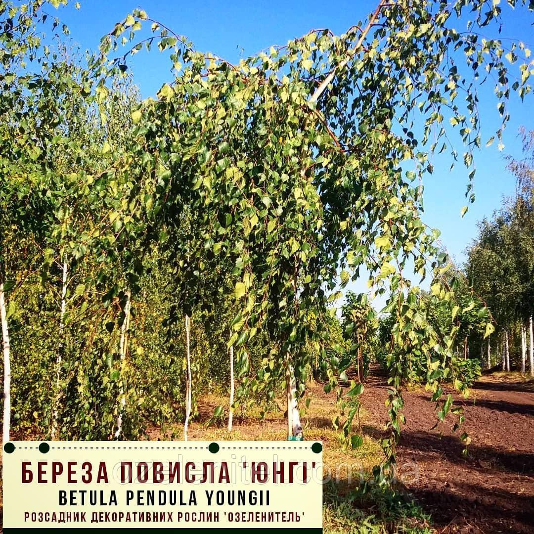 Береза повислая 'Юнги'/ Betula pendula 'Youngi' Штамб 1,7-1,9 м