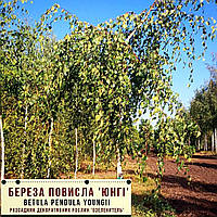 Береза повислая 'Юнги'/ Betula pendula 'Youngi' Штамб 2,0-2,3 м