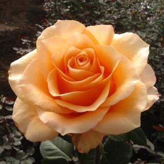 Роза чайно-гибридная Априкот